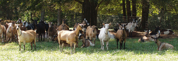 The Milking Doe Herd at Split Creek Farm